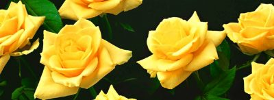 beautiful-yellow-roses-website-header